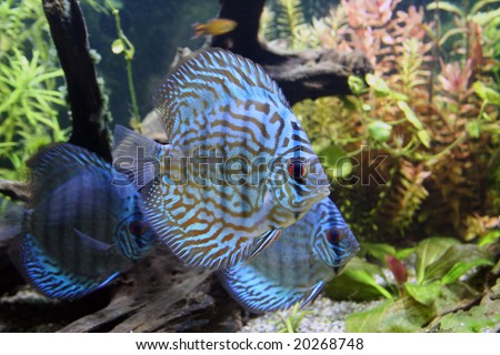 Three Blue Discus Fish - Symphysodon Aequifasciatus in a planted tropical freshwater aquarium - stock photo