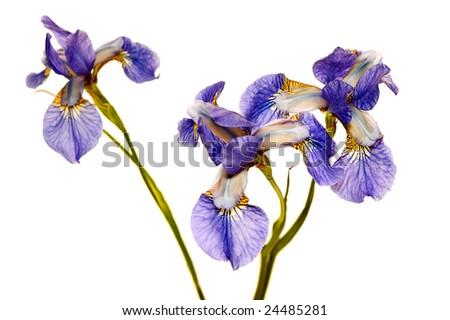 three blue irises isolated on white background - stock photo