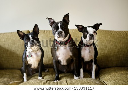 Three Boston Terriers sitting on green couch - stock photo