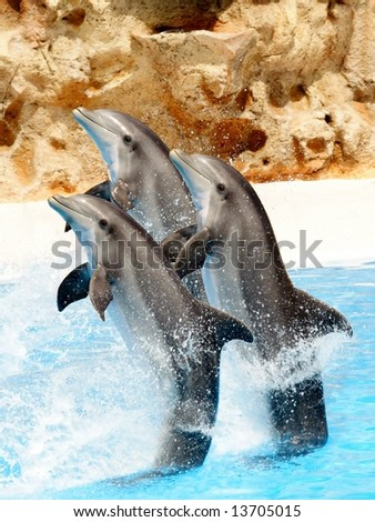 Three bottlenose dolphins performing a tail stand at a show - stock photo
