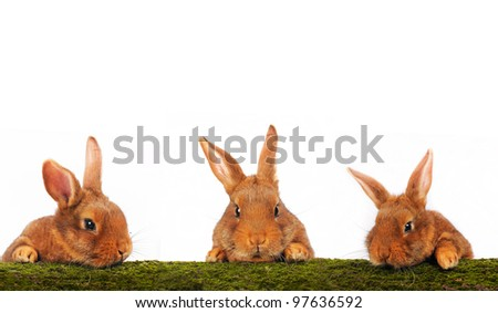 three brown rabbit on white background - stock photo