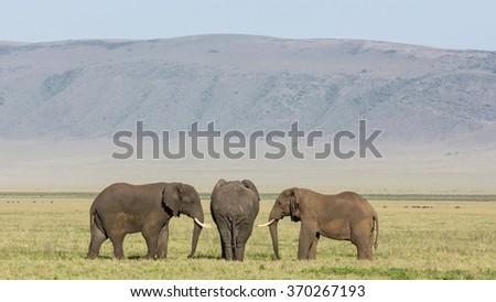 Three Bull Elephants in the Ngorongoro Crater, Tanzania - stock photo