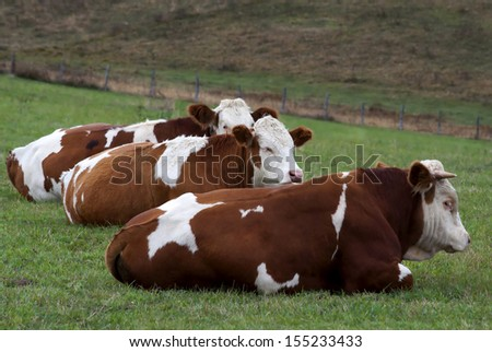 Three bull resting on the grass - stock photo