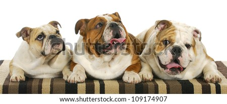 three bulldogs laying down 8 months old littermates - stock photo