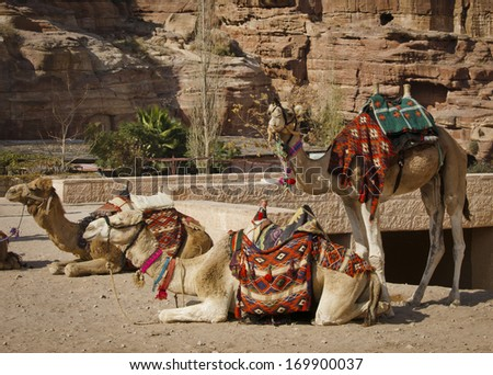 Three camels repaired to ride in Petra, Jordan. - stock photo
