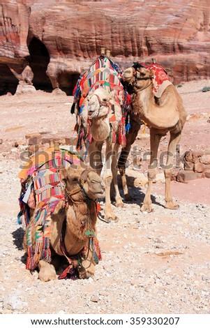 Three camels resting in Petra, Jordan - stock photo