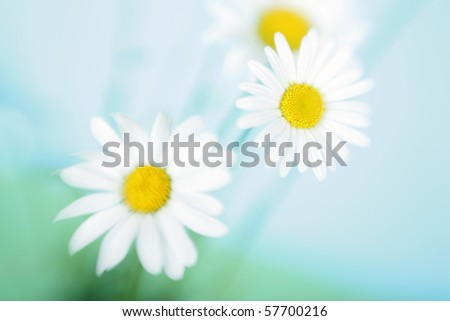 Three camomiles against the blue sky - stock photo