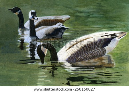 Three Canada Geese. Watercolor, colored pencil, ink drawing, painting, of three Canada geese swimming in a pond with reflections. - stock photo