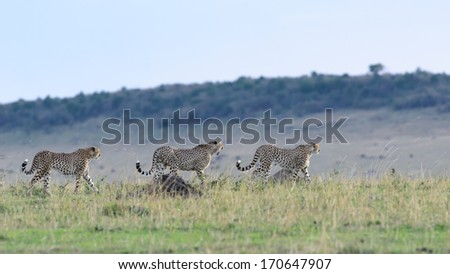 Three Cheetahs - stock photo