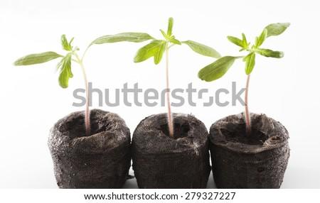 Three Cherokee purple tomato plants on white just starting to grow` - stock photo
