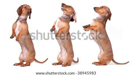 Three chestnut Dachshund isolated on white background - stock photo
