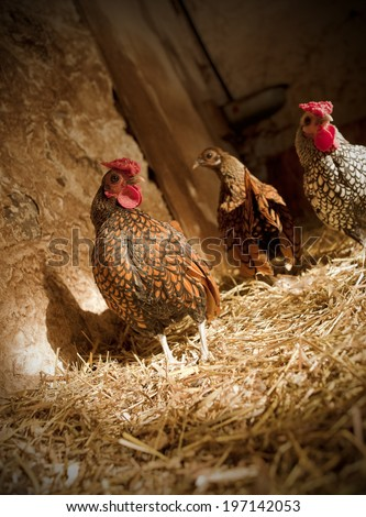 Three chickens stand in the barn, richly lined with straw. - stock photo