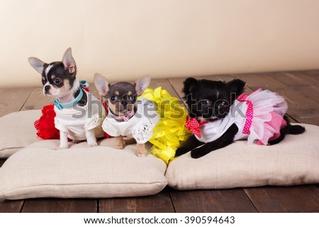 Three chihuahua puppies lying on pillows - stock photo