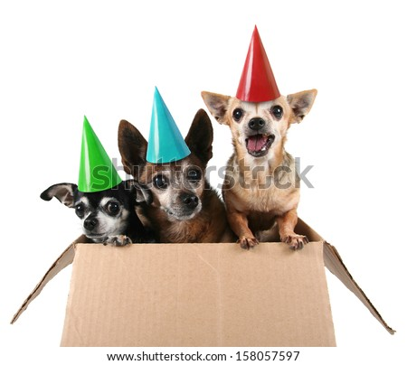 three chihuahuas in a cardboard box - stock photo