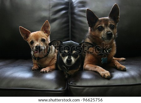 three chihuahuas on a couch - stock photo