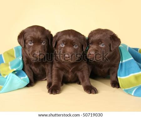 Three chocolate labrador retriever puppies. - stock photo