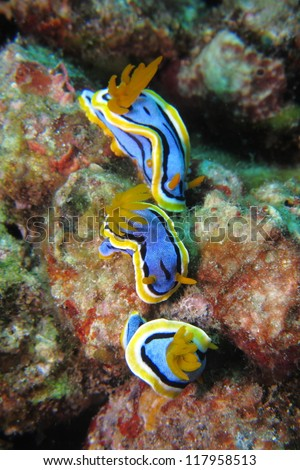 Three chromodoris nudibranch (Chromodoris elisabethina). Nudibranch is a type of sea slug known for its colorful body. - stock photo