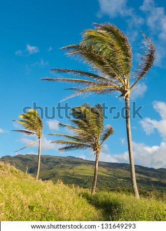 Three coconut trees swaying in the wind - stock photo