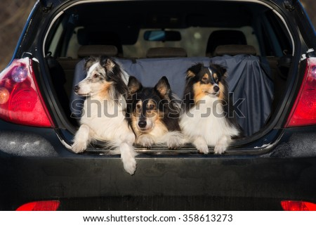 three collie dog lying down in a car trunk - stock photo