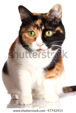 three-color cat looks - stock photo