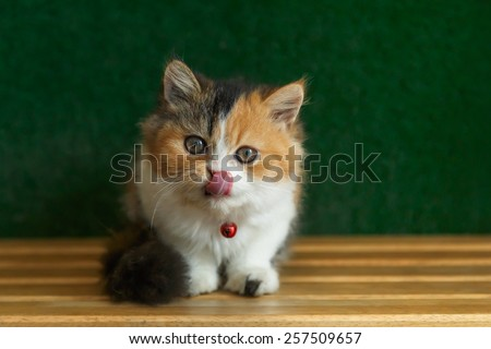 Three colored Persian cat sit and lick its nose on wood floor. Persian cat is Origin on Iran (Persia). - stock photo