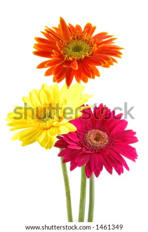 Three colorful gerber daisies in isolated white - stock photo