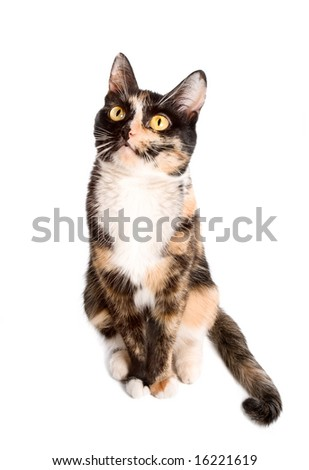 three-coloured cat sitting on white background and looking up - stock photo