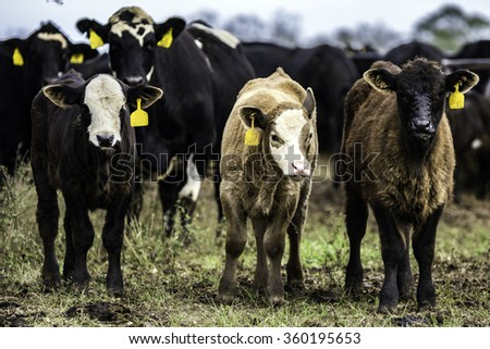 Three commercial Angus crossbred calves standing in a row in front of commercial cows - stock photo