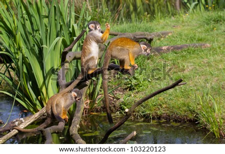 Three common squirrel monkey playing - stock photo