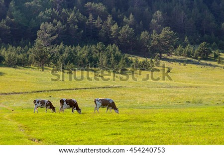 three cows are to each other near the mountain - stock photo