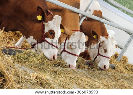 Three cows eating the hay in the barn - stock photo