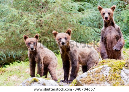Three curious grizzly cubs looking at photographer; one is standing up - stock photo