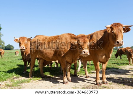 Three curious red brown Limousin beef cows  standing grouped together looking curiously at the camera on the skyline in a green pasture, blue sky behind - stock photo