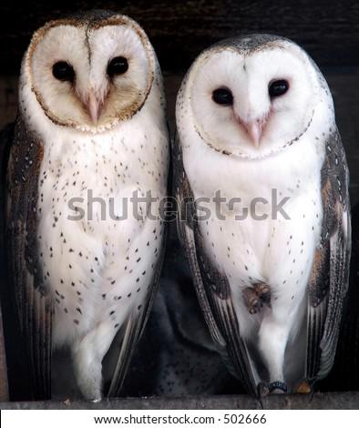 Three cute barn owls - stock photo