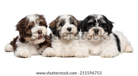 Three cute bichon havanese puppies are lying next to each other in front of camera, isolated on white background - stock photo