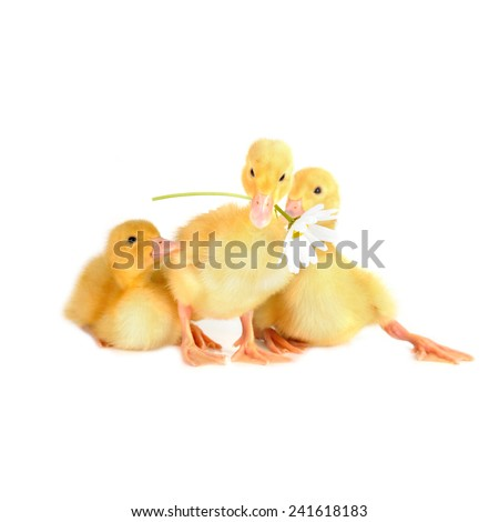 three  cute fluffy  ducklings and chamomile isolated - stock photo