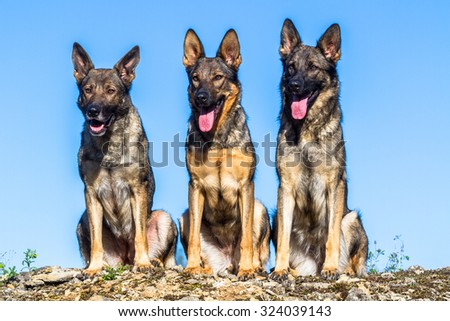 Three cute german shepherd dogs sitting on a rock - stock photo