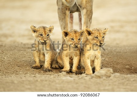 Three cute lions cubs (Panthera leo) sitting in a row, Kalahari desert, South Africa - stock photo