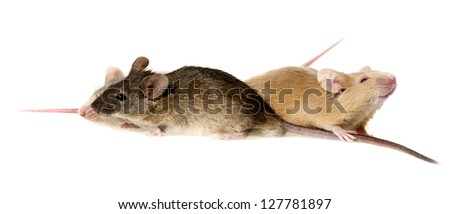 three cute mice isolated on a white background - stock photo