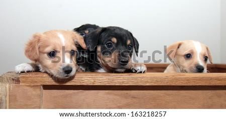Three cute mixed breed pups - stock photo