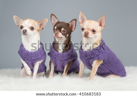 Three cute sitting chihuahua dogs wearing purple knitted sweaters on a grey background - stock photo