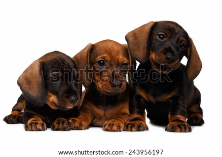 Three Dachshund puppies lies on white background - stock photo