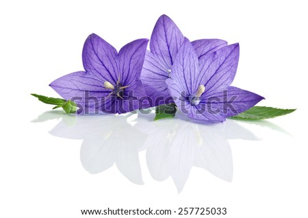 Three delicate lilac field flower on a white background! - stock photo