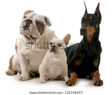 three different breeds of dogs isolated on white background - french bulldog, english bulldog and doberman pinscher - stock photo