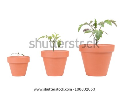 Three different sized terracotta planters with different sized tomato plants. - stock photo