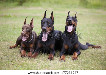 three dobermans are laying on grass - stock photo