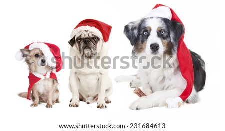 three dogs as a Christmas gift, exempted, white background, dressed as santa claus, cutout - stock photo
