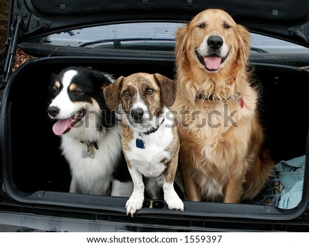 Three dogs in the trunk. - stock photo