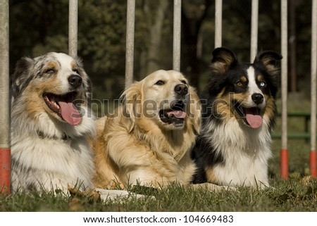 three dogs, lying in the slalom. portrait - stock photo