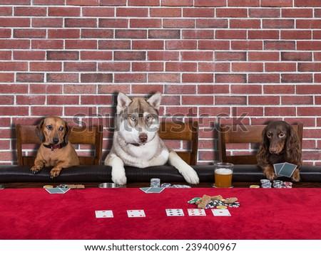 Three Dogs Playing Poker - stock photo